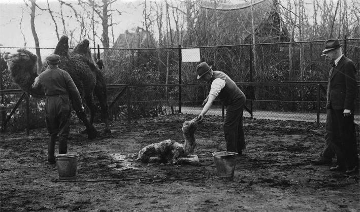 Geboorte kameel Noorder Dierenpark Emmen