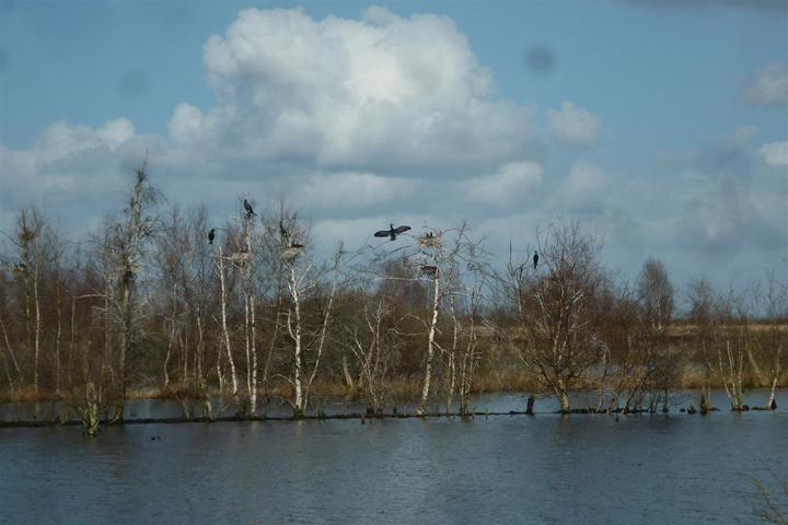 Aalscholvers in het Bargermeer (foto: Herman Posthumus).