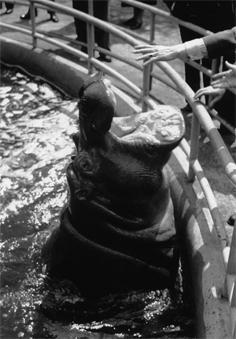 Nijlpaard Winston Noorder Dierenpark Emmen