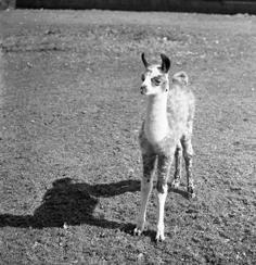 Jonge lama Noorder Dierenpark Emmen